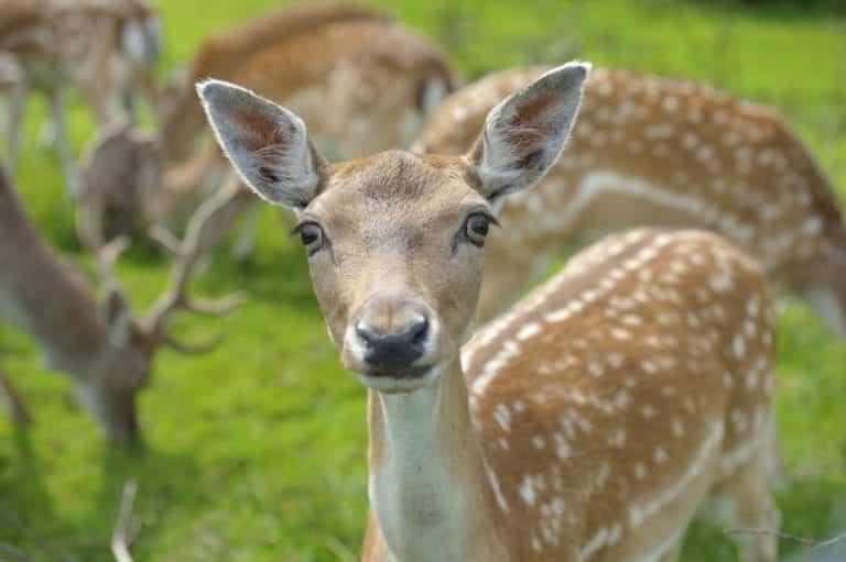 Doe Fallow Deer